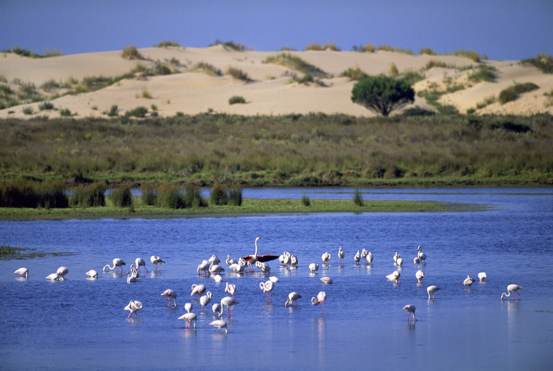 A group of Greater flamingos (Phoenicopterus ruber) in Coto Doñana National Park, with sand dunes in the background. Andalucia, Spain.